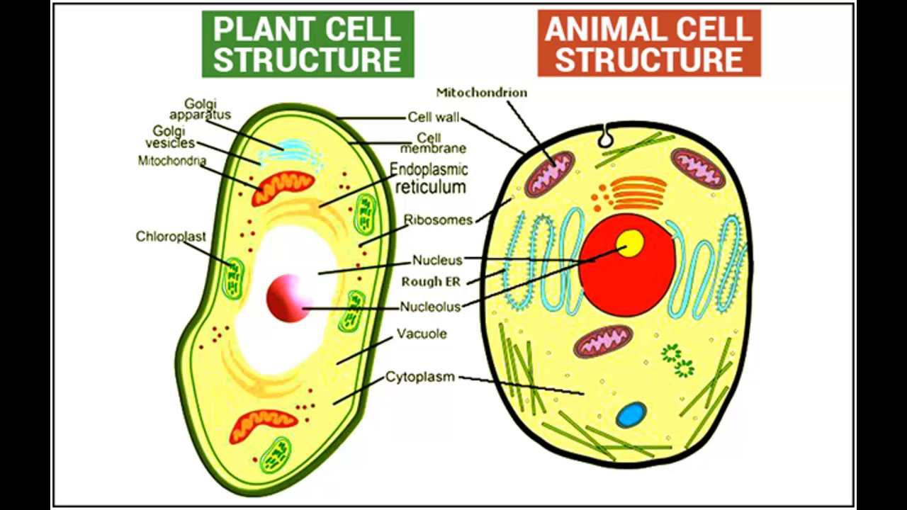 difference between plant and animal cell in hindi urdu [ 1280 x 720 Pixel ]