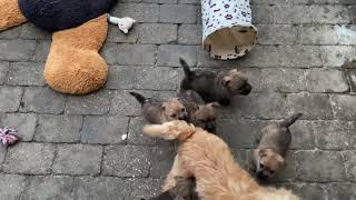 Very hungry Cairn Terrier puppies