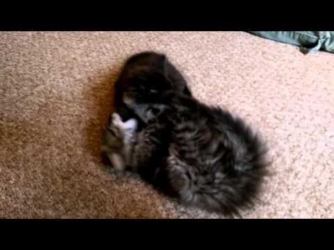 Kittens hissing and growling