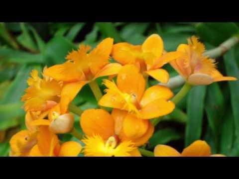 Орхидея эпидендрум. Epidendrum radicans. Уход за орхидеей. Полив, свет, субстрат для орхидеи.
