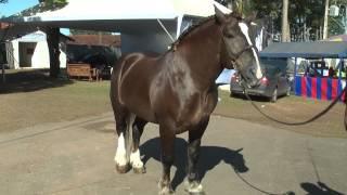 A exposição de cavalo Bretão na expoagro 2015 é uma das novidades da festa  este ano