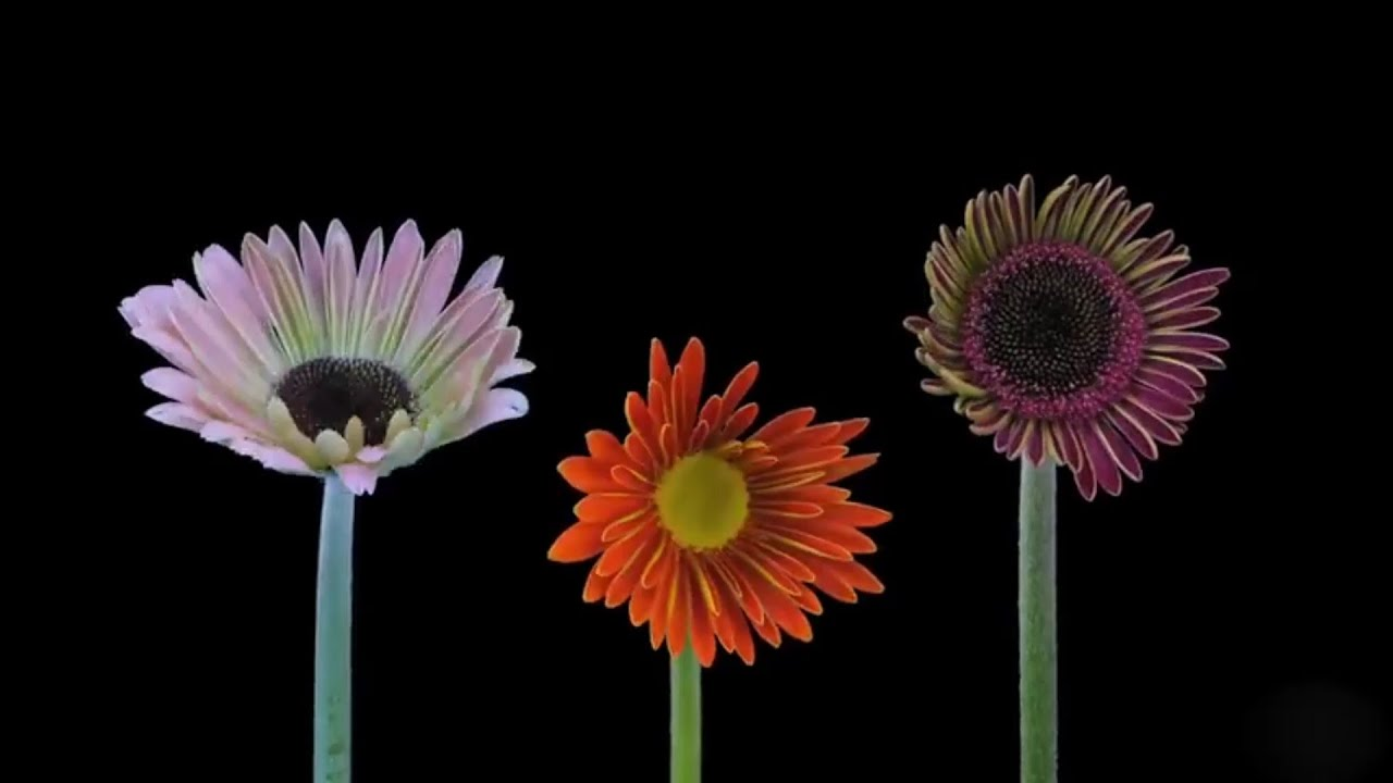 #TimeLapse  Time-Lapse: Beautiful Flowers Blooming