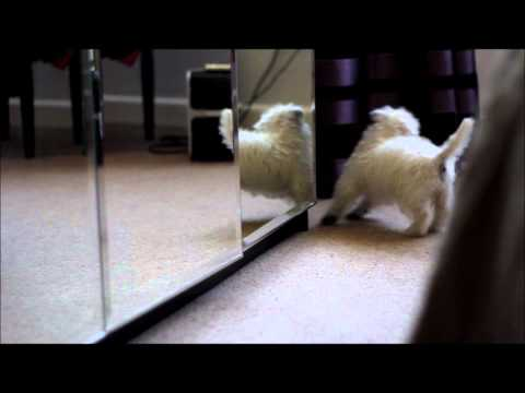 Mildred dog Puppy Meets The Mirror and has an accident!