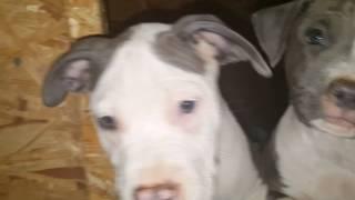 Голубые щенки стаффорда готовы к переезду в новый дом