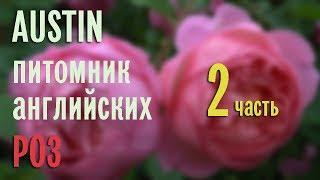 AUSTIN - английские розы, цветение в питомнике. Эпизод 2.