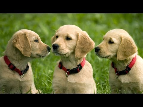 Cute Puppies - Try Not to Say Aww Challenge 2016