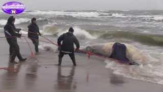 Wieloryb na plaży nad Bałtykiem