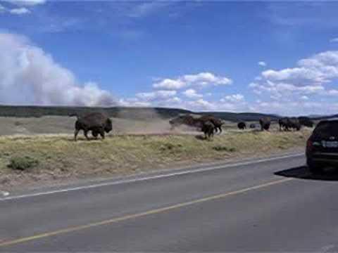 buffalo fight yellowstone