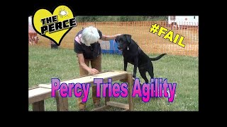 Labrador Puppy 'Percy' - first ever agility course.