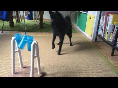 """Hund (Schipperke) mit Intelligenzspielzeug """"Turn around"""""""