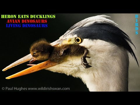 When A Heron Eats Ducklings There Is Nothing A Mother Duck Can Do To Stop This Huge Animal Predator