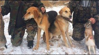 Охота с русскими гончими.
