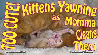 TOO CUTE! Week Old Ginger Kittens Yawning & Playing While Momma Cat Cleans Them