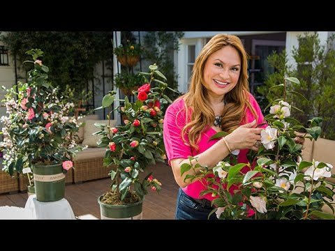 Camellia Plants 101 With Shirley Bovshow