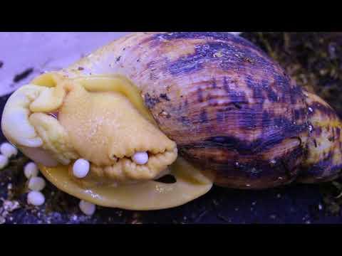 Как улитки откладывают яйца