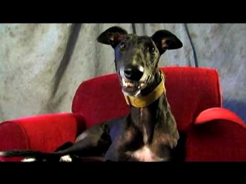 Cal the Greyhound - Looking for a Long Term Commitment