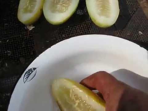 Собираем семена гибридных огурцов