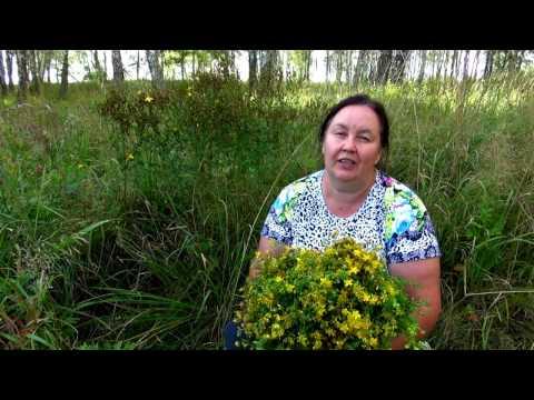 Зверобой - трава от 99 болезней — Знай Правду!