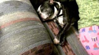 Sleepy Dog Crushed By Woman