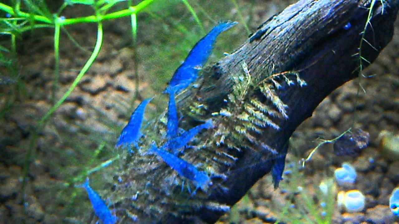 aura blue shrimps - YouTube