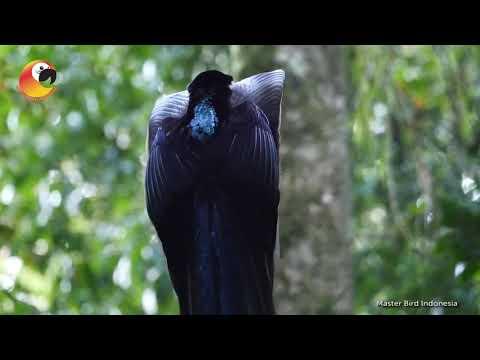 MENGAGUMKAN!! pesona luar biasa Burung Paruh Sabit Kuri kuri
