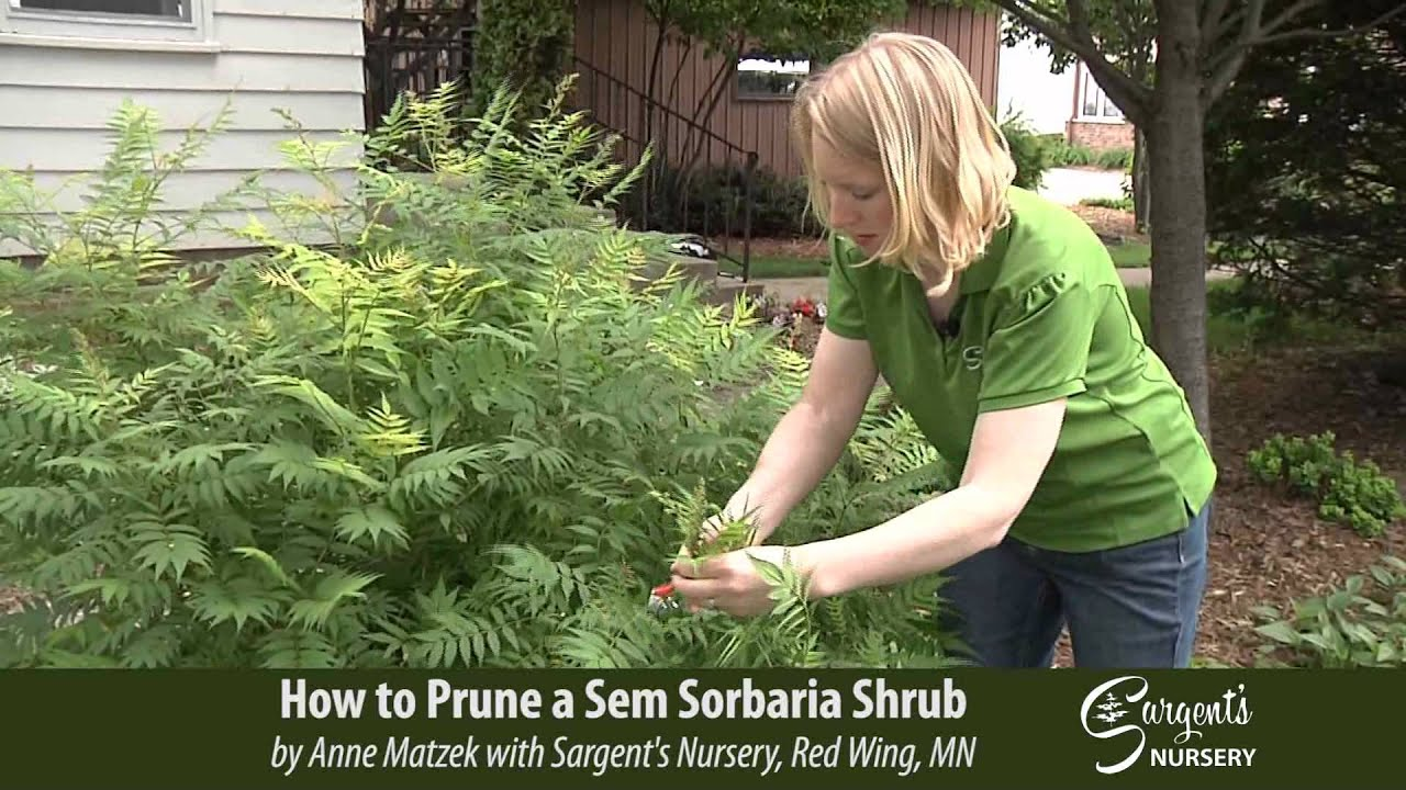 How To Prune A Sem Sorbaria Shrub Sargent S Nursery Inc