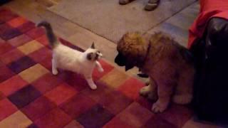 When Aubrey The Ragdoll Kitten Met Ginnie The Leonberger Puppy