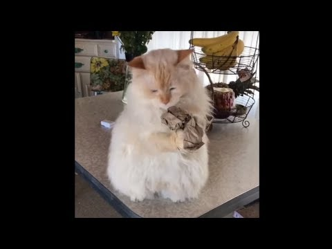 Ragdoll cat has amazing catching skills!