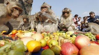 CƯỜI TÉT RÚN với bữa tiệc buffet cho ... khỉ có 1-0-2 ở Việt Nam   Toàn cảnh 24h
