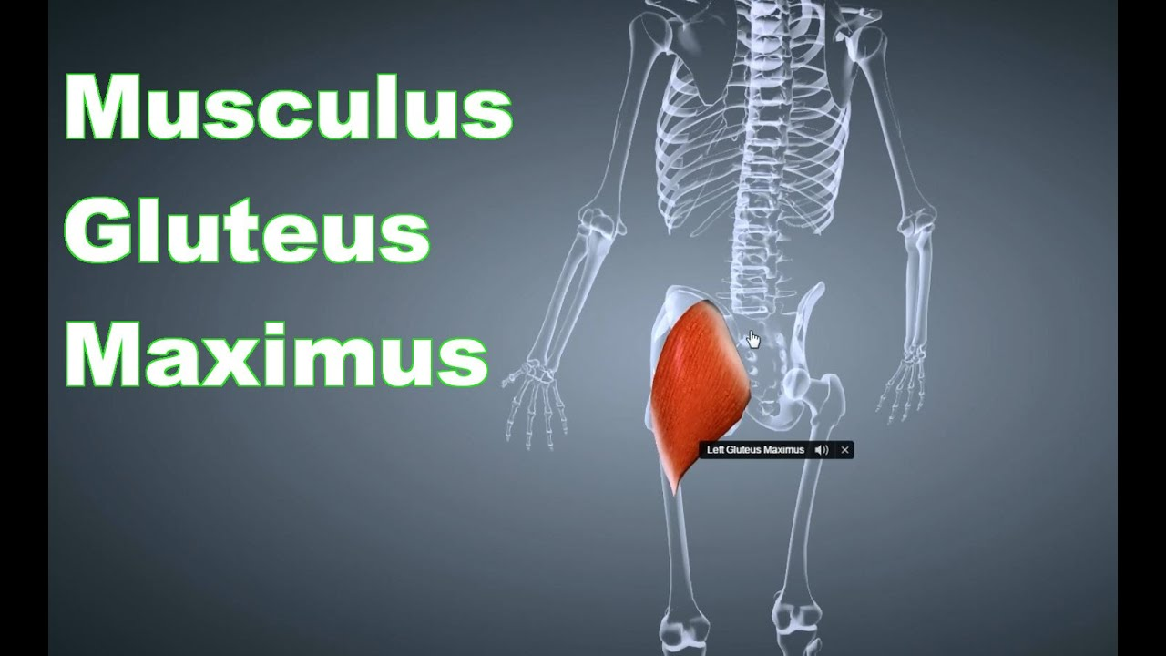 M. Gluteus Maximus Großer Gesäßmuskel: Ansatz, Ursprung, Funktion ...