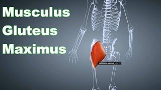 M. Gluteus Maximus Großer Gesäßmuskel: Ansatz, Ursprung, Funktion, Körperübung B-Lizenz Prüfung