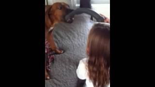 Rhodesian Ridgeback Puppy Plays With Kid And Vacuum Cleaner