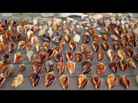 Seashell MOTHERLOAD!!! Shelling at Cayo Costa near Sanibel Island - shell hunting