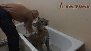 Как помыть пуму. Часть 1 СТИРКА How to wash puma. Part 1 the WASH