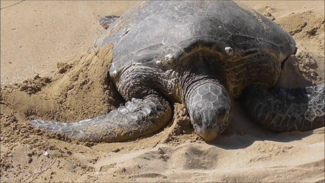 Laniakea Beach Turtle Honolulu Hawaii