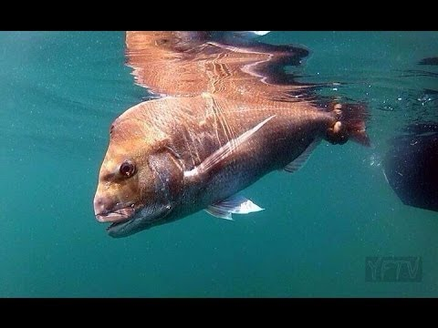 Thumbnail: HOW TO HUNT AND CATCH SNAPPER - YouFishTV