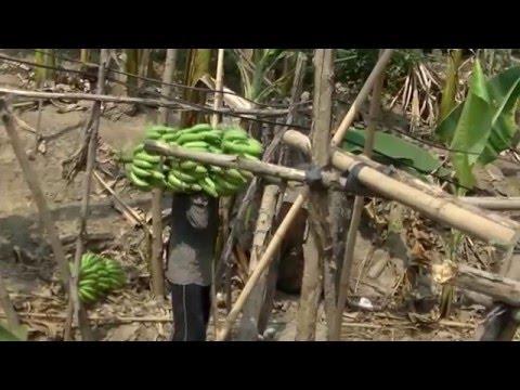เทคนิคปลูกกล้วยหอม Banana Thai