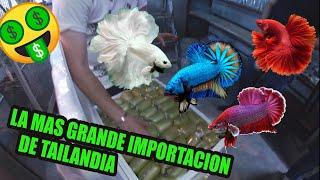 🤑La mayor importación de PECES BETTAS  de TAILANDIA 🤑
