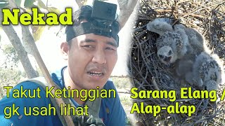 Download lagu Melihat Sarang Burung Elang / Alap-alap