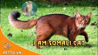 Mèo somali – Nguồn Gốc, Đặc Điểm Và Giá Của Mèo Somali - Petto TV