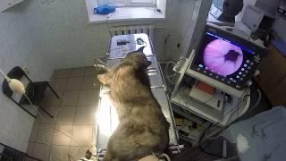 Курган Эндовет Цистоскопия у собаки www.endovet.su