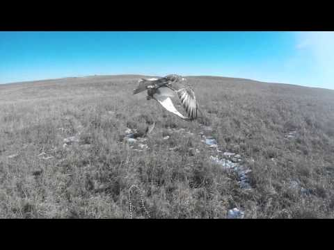Ferruginous Hawk Falconry on Jackrabbits