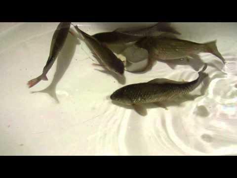 Неодимовый магнит и рыбы.