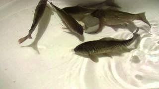 Неодимовый магнит и рыбы.(Действие магнитного поля на рыб., 2015-11-19T14:39:19.000Z)