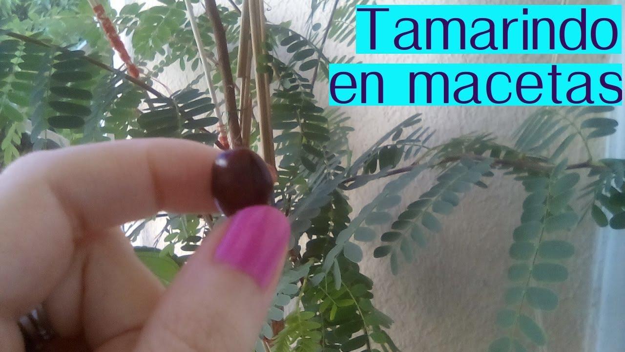 C mo cultivar tamarindo en macetas huerto en tu ventana for El mejor arbol para plantar en casa