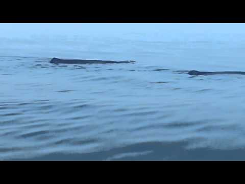 Whale watching muscat OMAN
