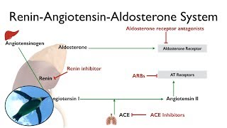 Renin-Angiotensin-Aldosterone System (The RAAS)