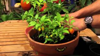 How to Grow Pepper Plants Inside