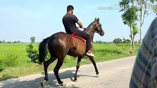 मारवाड़ी घोड़ी बिक्री के लिए है Horse Riding Video  , Marwadi Mare Ellie For Sale +919781990406