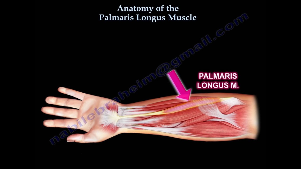 Anatomy Of The Palmaris Longus Muscle - Everything You Need To Know ...